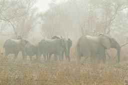 Group of Elephants in Burkina Faso