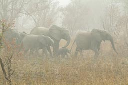 Burkina, Faso, Arli National Park, family of Elephants.