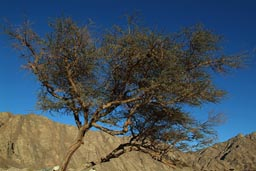Acacia desert mountains blue sky, Sinai Egypt.