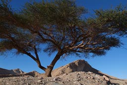 Sinai acacia, mountain blue sky.