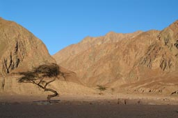 Acatia tree in Sinai desert before shade from setting sun engulfes it.