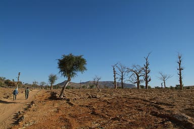 Dogon Land, walking/trekking. Young baobabs, millet stubs, acacia. Blue sky.