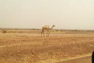Camel in Sahel