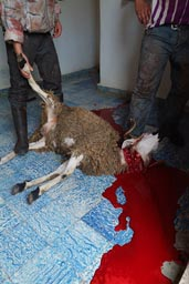 Eid al-Adha. sheep slaughter.