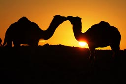 Two camels kissing?
