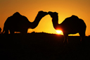 Two camels kissing, in orange sun?