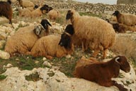Sheep, Lost cities. Syria.