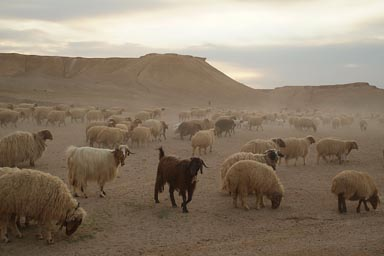 Sheep in Syrian desert.