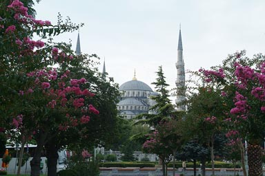 Pink bushes, garden, Sultan Ahmed mosque, Istanbul.