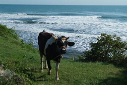 Cow on Jason's Cape, Turkey, Black Sea.