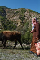 Old woman herding cattle, street Camlikaya, Coruh, Turkey.