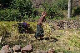 Unveiled women, bring hay in, Coruh valley, Turkey.