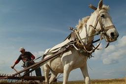 Horse, pulling rake cart, Turkey.