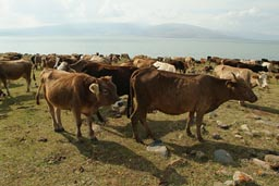 Cattle, Lake Cildir, Turkey.