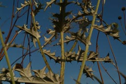Thistle, spiderweb, blue sky.