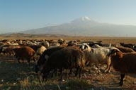 Sheep, Mount Ararat.