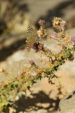 Butterfly, thistle, eastern Turkey.