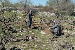 Men working their vineyard, Uzuncaburc, Turkey.
