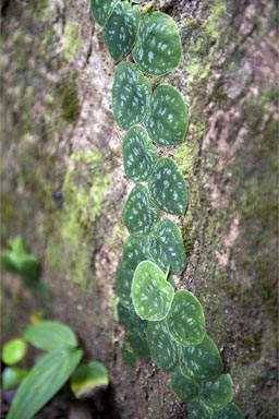 Small leaved philodendron. Leafs glued to the bark, Manzanilla, Costa Rica.