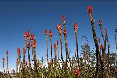 Magic natur, red flowering plants in the Western Highlands Guatemala.