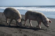 Rose pigs on Pacific ocean Guatemala beach near Monterico.