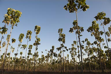 Teca as they call it, a field of teak trees, Nicaragua.