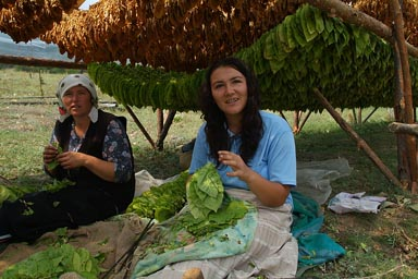 Bulgarian women hanging Tobacco leaves for drying.
