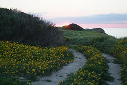 Yellow flowers, spring, sunset, north Cyprus, path.
