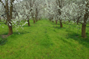 Cherry trees blossom, green grass, garden Cyprus.