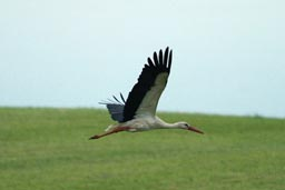 Stork flying off over green field.