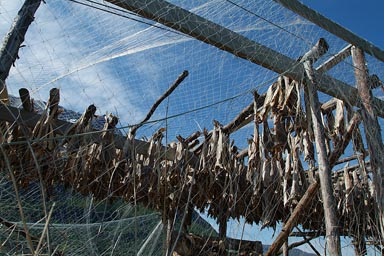 Dried fish, hung up in Norway.
