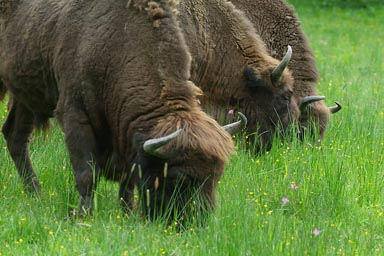 Near Bialowieza. Bisons.
