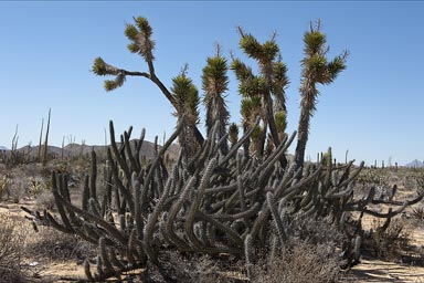 Bushes of cacti and yucca, the desert produces plants like from another planet.