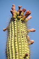 Blossoming Pipe Cactus.
