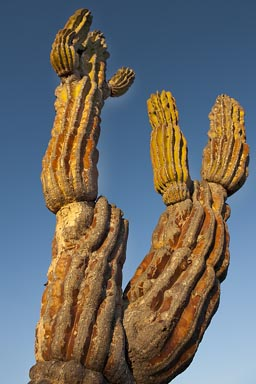Cardon Cactus forks, branching off.