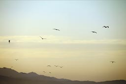 End of day sky, pelicans circling, hunting, South Baja Mexico.