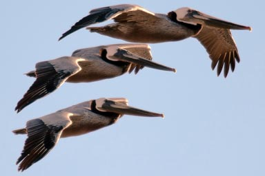 Pelicans like fighter jets.