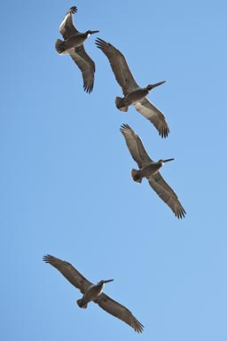 Pelicans overhead, Southern California.