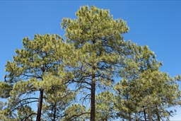 Green pines blue sky, Copper Canyon, alt. 2350m