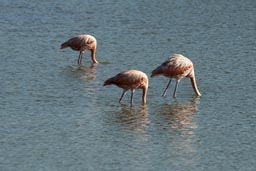 Heads in water flamingos feeding of crabs.