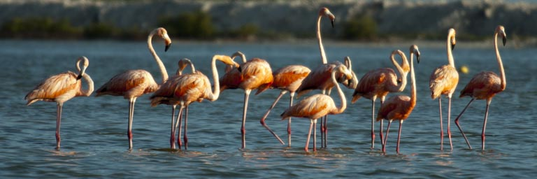Another group of flamingos, on a sand bank, blue Rio Lagartos.