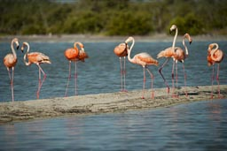 Red flamingoes on a sand bank, Rio Lagartos, Yucatan.