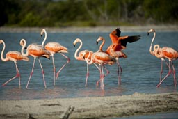 The redder the colours of flamingoes, the better and healthier their food intake.