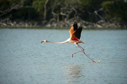 Take off on phoenix's wings. Flamingo, Rio Lagartos.