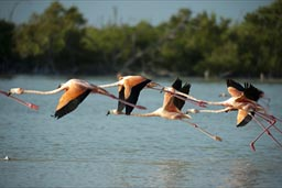 Group of flamingos taking off on Rio Lagartos.