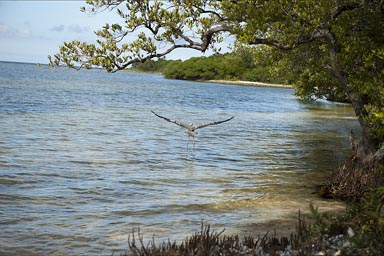 Big bird taking off. Sian Ka'an biosphere, reserve. Southermn Quintana Roo.