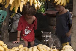 Boys find a raccoon between bananas. Mexico.