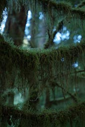 Moss on branch, Olympic rainforest.