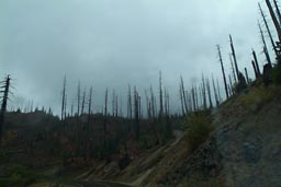 Singed trees, Mt. St. Helens.