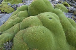 Moss on altiplano.
